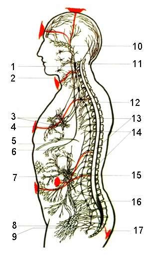 Схема типичной клетки в разрезе Чакры - центры энергетики организма.  Причин, по которым клетки не получают...